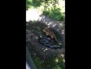 Тигр купаешься
