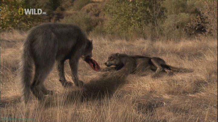 Доисторические хищники Древний страшный серый волк Познавательный природа животные 2007