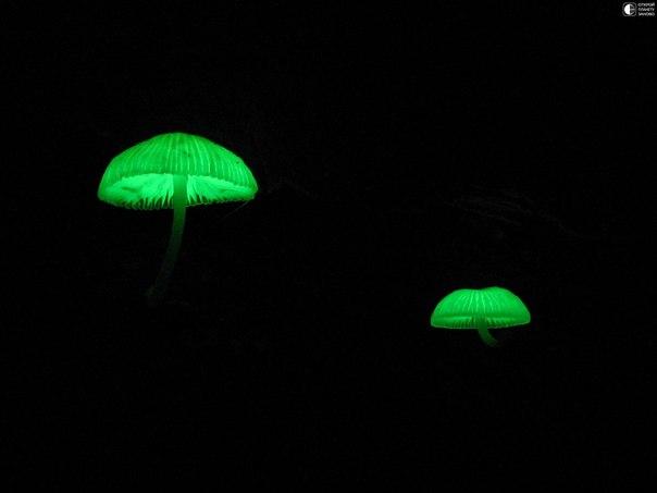 Cветящиеся грибы Mycena lux-coeli.