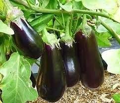 Баклажаны принадлежат к семейству пасленовых, так же как и томатные кусты и кусты картофеля, но несмотря на это, они имеют некоторые нюансы в своем выращивании на огороде.