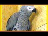 Попугай - бэк вокал