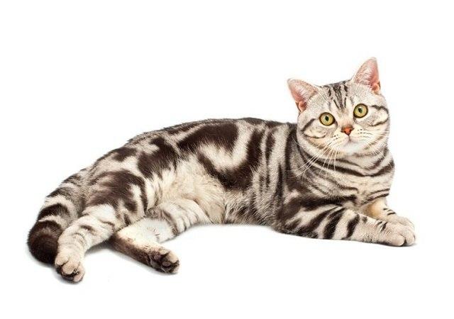 Характер, уход и питание американской кошки
