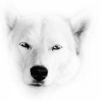 Сибирские Хаски фото (45 фото).  История Сибирских Хаски.