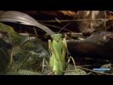 Жесть! Богомол - Инопланетянин Документальный Фильм про животных