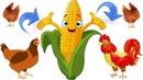 Vos poules n'aiment pas le maïs ? Mes Astuces.