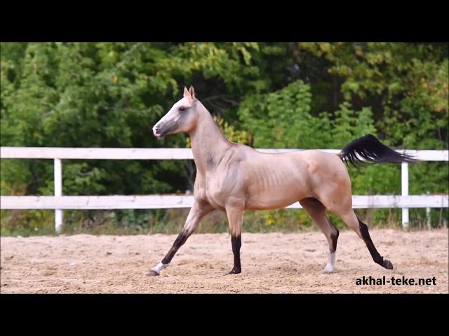 Ахалтекинский жеребец Шемал-Тарки/Akhal-teke colt SHEMAL-TARKI `2014