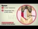17 Мышцы живота и паховый канал