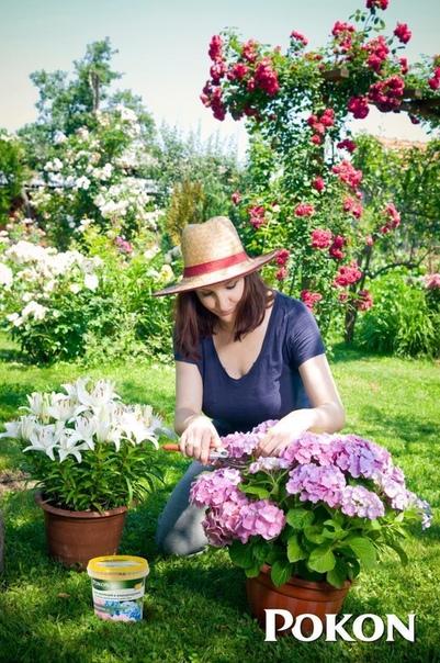 Как правильно выбрать сорт гортензии Опытные садоводы учитывают, что для выращивания в открытом грунте в условиях средней полосы России пригодны лишь виды и сорта растений, которые обладают