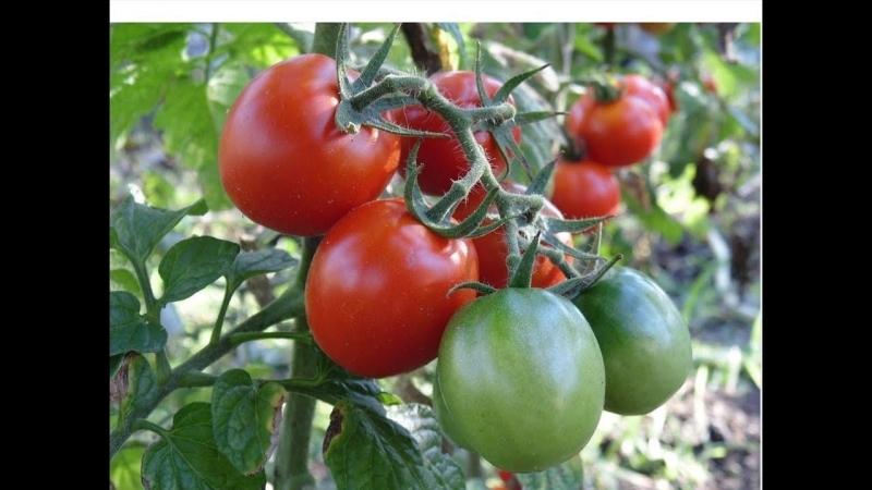 Во саду ли в огороде • Что Я Делаю С Томатами Для Раннего И Богатого Урожая.