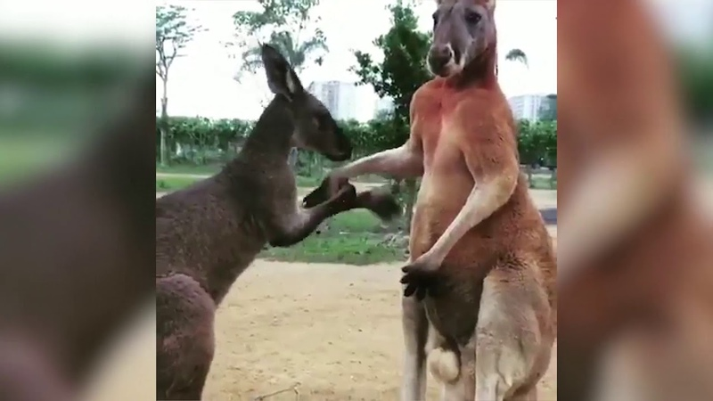 Young kangaroo kisses elder's hand, gets punched in the face