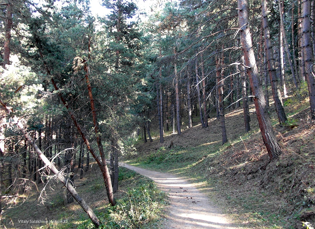 Тропа в сосновом лесу Алматы 2018