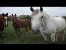 здравствуйте товарищи лошади, а также товарищи кони