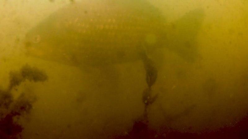 Подводные съёмки Вецдаугавы. Мелочь, крупные караси и щука.