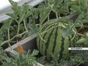 30 штук с одной грядки жительница Лесосибирска вырастила на даче рекордный урожай арбузов