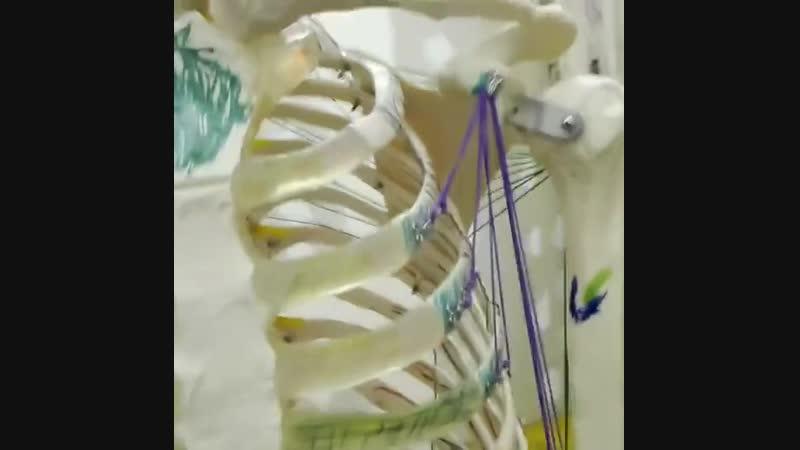 Анатомические поезда 4. Передняя миофасциальная линия рук.