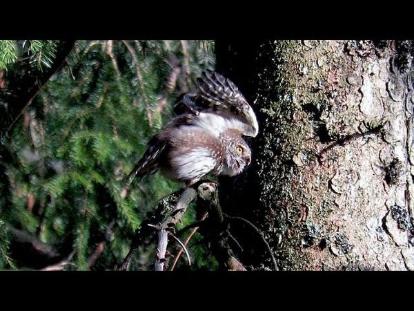 Eurasian Pygmy-Owl - Glaucidium passerinum - Chevêchette d'Europe - Dwerguil / Belgium / 10-4-2015