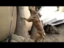 Питбуль, не реальная собака