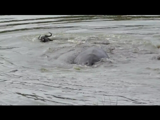 Бегемоты спасли антилопу гну от двух крокодилов