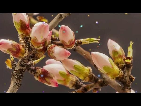 Как распускаются цветы Прекрасный идеал красоты и величия