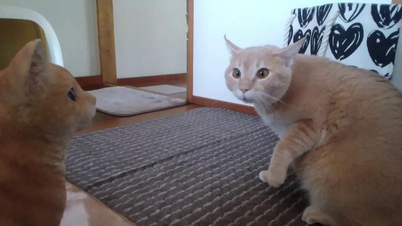 驚きすぎて腰を抜かす猫シナモン Cats who is too surprised to sit down Cinnamon