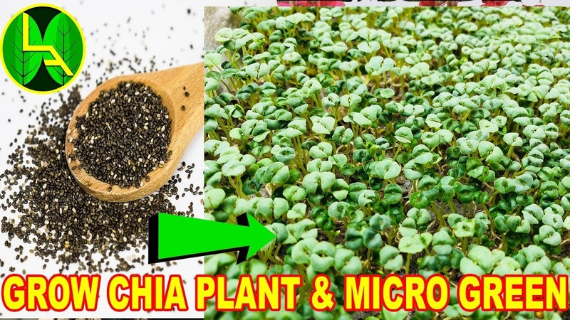 How to grow chia seeds plant and micro green - The Most healthy diet on earth.