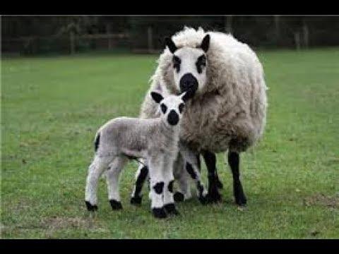 Kerry Hill - Английская порода овец Аям Цемани - Черная курица
