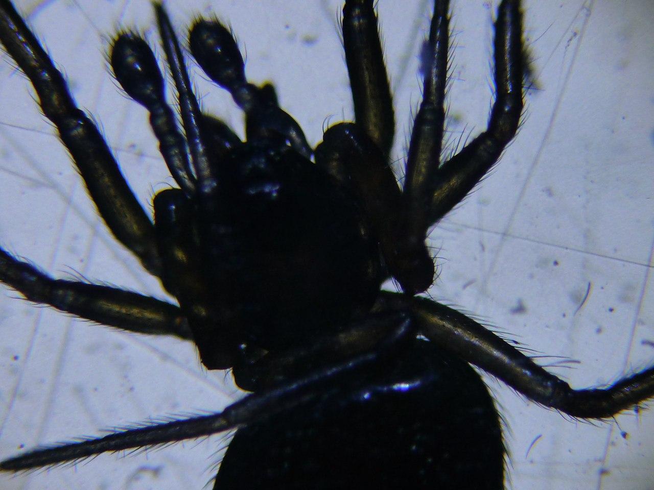 Паук под микроскопом