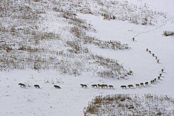 Волчья стая. Впереди идут трое самых слабых и больных. Они задают темп, если темп будут задавать сильные — эти отстанут и погибнут. Но, если засада — то убьют впереди идущих. Еще эти слабые волки должны снег протоптать и сохранить силы для последующих. За ними пятерка матерых волков — мобильный отряд авангарда. Посередине — 11 волчиц (главная ценность стаи). За ними тоже пятерка матерых волков — арьергард. А позади всех идет чуть в отдалении сам вожак. Ему необходимо видеть всю стаю целиком и…