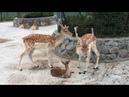 Семейство Европейских ланей с малышом! Тайган