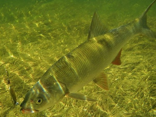 приманка для рыбы fishhungry