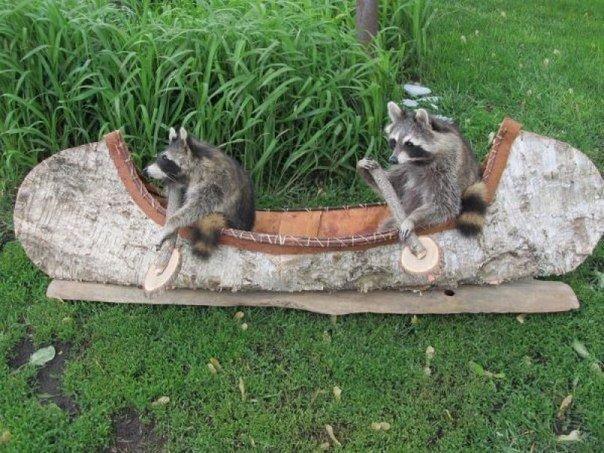 Просто два енота, гребущих в каноэ. Отсутствие воды их совершенно не смущает