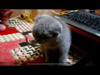 Котенок и сгущенка. Шотландский вислоухий котенок ест сгущенку