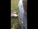Крокодил отрывает бампер у джипа