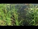 Водяная крыса видео 2