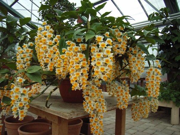 Вот такая вот орхидея дендробиум! (1 фото) - картинка