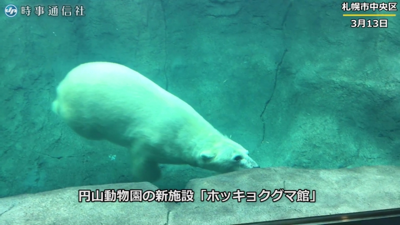 頭上で泳ぐホッキョクグマ―円山動物園にオープン