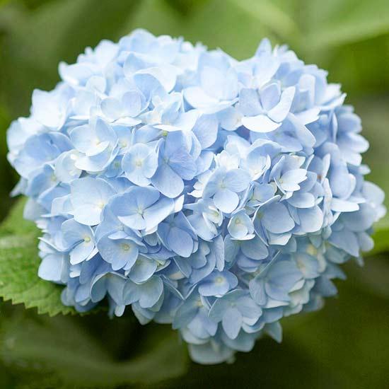 Многолетники для цветников - Гортензия
