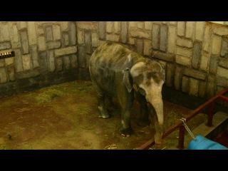 В зоопарке Екатеринбурга хор детей из Болгарии спел песню для слонихи Даше