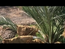تغطية العرجون وقنو عذق النخلة للمحافظة على جودتها وحمايتها من ضربة الشمس - الأستاذ منصور المحمدي