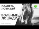Цикл Планета лошадей   Вольные лошади (10 серия)   Канал Живая планета (эфир от 07.04.2018)