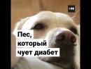 Собака спасает больную диабетом
