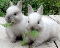 У атласных кроликов волосяной покров по длине в целом такой же, как и у нормальношёрстных кроликов.