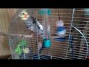 Когда тебе скучно.......купи Попугая Корелла Нимфа