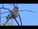 Сорокопут-жулан самец . .и мои визги