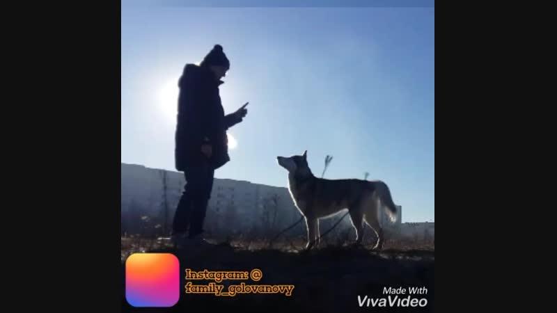 сибирский хаски Макс кинолог дрессировка собак Ульяновск