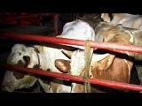 Коровы - нелегалы в подпольной скотобойне