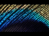 Перо павлина под микроскопом