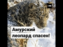 Амурский леопард спасен