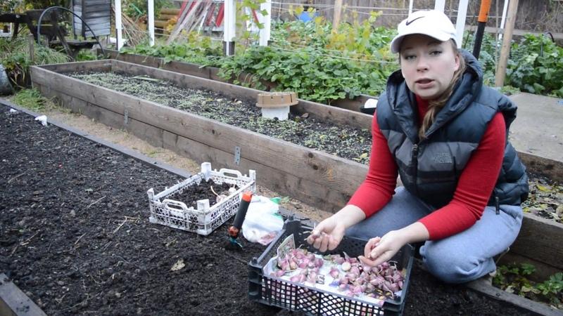 Когда и как сажать чеснок под зиму