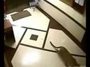 Onça mata pitbull em Nova Lima-MG, dentro de residência. PITBULL PERDEU FEIO